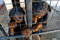 Rottweilers à l'abri animal Photos stock