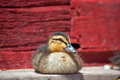 Rouen duck resting Royalty Free Stock Image
