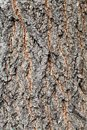 Rough bark of old trunk on maple ash tree close up Royalty Free Stock Photo