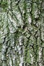 Rough brown bark of the tree backgrounds Royalty Free Stock Photo