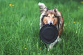 Rough collie dog playing with frisbee on a green grass lawn outdoors Royalty Free Stock Images
