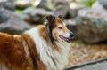 Rough collie portrait in autumn park Royalty Free Stock Photography