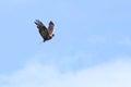 Rough legged buzzard buteo lagopus in flight on blue sky Stock Photography