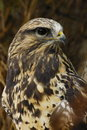 Rough-legged Hawk Royalty Free Stock Images