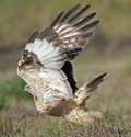 Rough legged hawk Stock Image