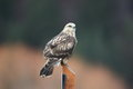 Rough legged hawk blurred background Royalty Free Stock Photos