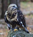 Rough legged hawk close up of a also called a buzzard Royalty Free Stock Photo