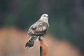 Rough legged hawk a rought on a perch with a blurred background Royalty Free Stock Image