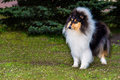 Rough сollie tricolour ahead the collie seats on the grass in the park Royalty Free Stock Photos