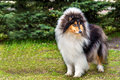 Rough сollie tricolour left the collie seats on the grass in the park Stock Photography