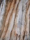 Rough paper bark gum tree bark in a park melbourne australia Royalty Free Stock Photos