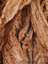 Rough texture of tree trunk a cottonwood has deeply textured bark Stock Photography