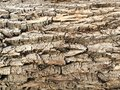 Rough texture wood tree bark close up d of heavily textured and ready aid maple brown nature element from a long of the forest Stock Photos