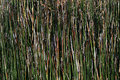 Rough textured background of horsetail plant closeup Stock Photos