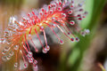 Round leaved sundew super macro of the tentacles with their sticky secretion Royalty Free Stock Image