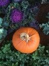 Round pumpkin with spiral stem in ornamental vegetable garden
