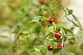 Round red chilly plant Royalty Free Stock Photo