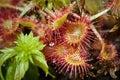 Sundew carnivorous plant Royalty Free Stock Photo
