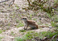 Round-tailed ground squirrel Stock Photos