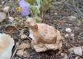 Round-tailed Horned Lizard, Phrynosoma modestum Stock Image