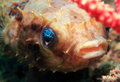 Rounded porcupinefish close up of a juvenile cyclichthys orbicularis lembeh strait indonesia Royalty Free Stock Image