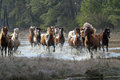 The roundup chincoteague ponies in chincoteague national wildlife refuge during annual fall Stock Photo