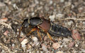 Rove beetle on ground. Macro photo. Stock Images