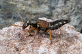 Rove beetle Staphylinus caesareus Royalty Free Stock Photo
