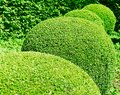 Row of ball-round pruned box trees in a garden