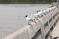 A row of a black headed seagulls each standing on an individual fence post Stock Photo