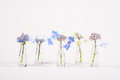 Row of blue flowers in glass jars, cycle from bloom to wither Royalty Free Stock Photo