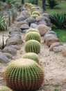 Row of cactus plants Royalty Free Stock Images