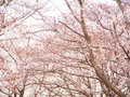 Row of cherry blossom trees in full bloom Stock Photos