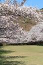Row of cherry blossom trees in izu shizuoka japan Royalty Free Stock Images