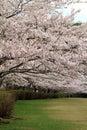 Row of cherry blossom trees in izu shizuoka japan Royalty Free Stock Photography