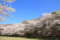 Row of cherry blossom trees in izu shizuoka japan Royalty Free Stock Photo