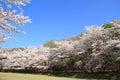 Row of cherry blossom trees in izu shizuoka japan Royalty Free Stock Photo