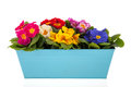 Row colorful primroses blue container isolated over white background Royalty Free Stock Photos