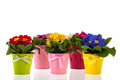 Row colorful primroses flower pots isolated over white background Royalty Free Stock Photo