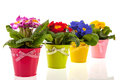 Row colorful primroses flower pots isolated over white background Stock Photo