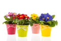 Row colorful primroses flower pots isolated over white background Stock Photos
