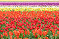 Row of colorful tulips on the field in the spring Stock Photography