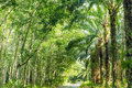 Row of expired para rubber tree and palm tree road between Royalty Free Stock Photography