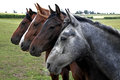 Row of four horses stood on field in countryside Royalty Free Stock Photography
