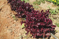 Row of fresh red lettuces growing in a market garden Stock Photos