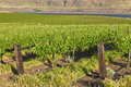 Row of fresh vines in the columbia gorge or new a vineyard river Stock Photos