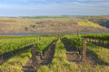 Row of fresh vines in the columbia gorge or new a vineyard river Stock Image
