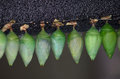 A row of green cocoons hold nature s surprise as they change from caterpillars to butterflies Royalty Free Stock Photography