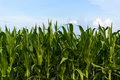 Row of green corn under blue sky fresh growing in a field on farmland a with white fluffy clouds great farming agriculture photo Stock Images