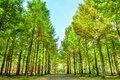 Row of green trees in Nami Island. Royalty Free Stock Photo